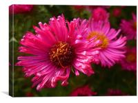 Michaelmas Daisy, Canvas Print