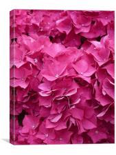 Hydrangea Petals, Canvas Print