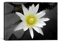 Water Lily in Koh Samui, Canvas Print