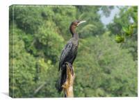 Little Cormorant - Sri Lanka, Canvas Print