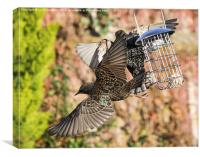 Squabbling Starlings, Canvas Print