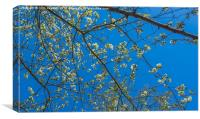 Wild White Cherry against an azure sky, Canvas Print