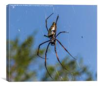 Pregnant Female Golden Orb Spider, Canvas Print