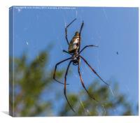 Pregnant Female Golden Orb Spider, Canvas Print