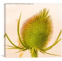 Thistle Head, Canvas Print