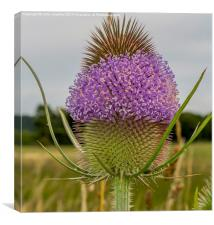 Flowering Thistle Head, Canvas Print