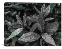 Bay Leaves, Canvas Print