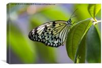 Paper Kite Butterfly, Canvas Print