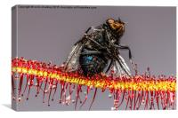 House Fly captured by a Cape Sundew Plant