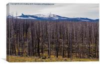 Yellowstone Park, USA - White-Bark Pine, Canvas Print
