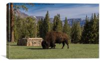 Bison at Yellowstone Park , Canvas Print