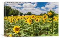 Sunflowers in Boussac, Canvas Print