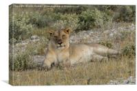 Lioness taking the suns rays, Canvas Print
