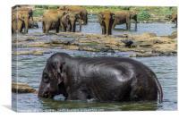 Elephants in Sri Lanka, Canvas Print