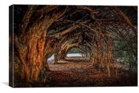 1000 year old yew tree at Aberglasney gardens, Canvas Print