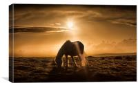 Gower pony at sunset on Cefn Bryn, Canvas Print