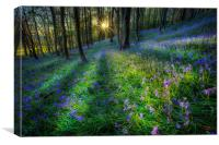 Bluebell sunset at Margam woods , Canvas Print