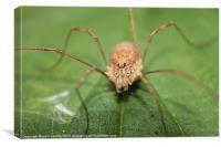 harvestman spider, Canvas Print