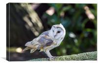 Barn owl, Canvas Print