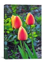 A colourful tulip, Canvas Print