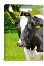A Dairy Cow tagged for market., Canvas Print