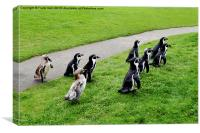 The Humboldt penguins off for a feed, Canvas Print