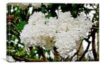 Beautiful White Lilac (Syringa), Canvas Print