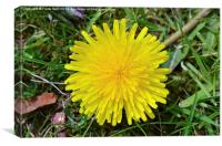 A fully grown Dandelion weed., Canvas Print