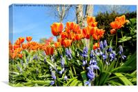 Tulips and Bluebells in Spring, Canvas Print