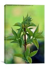 Syringa vulgaris 'Madame Lemoine' in bud, Canvas Print