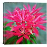 Beautiful Pieris, artistically presented, Canvas Print