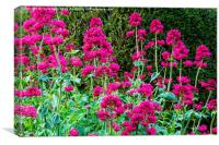 Red Valerian in all its glory, Canvas Print