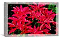 Beautiful colourful artistic Pieris,, Canvas Print