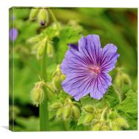 Johnson's Blue in full bloom, Canvas Print