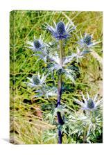 Common Thistle flowering plant, Canvas Print
