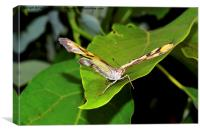 Malachite butterfly (Siproeta stelenes), Canvas Print