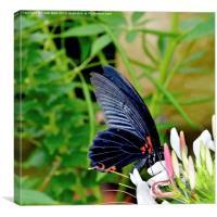 Scarlet swallowtail - Papilio rumanzovia, Canvas Print