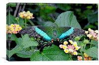The beautiful Blue Banded Swallowtail butterfly, Canvas Print