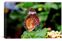 Malay Lacewing Butterfly (Cethosia cyane), Canvas Print