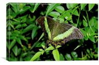 Green-Banded Swallowtail butterfly, Canvas Print