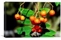 Red Rowan (Mountain Ash) berries, Canvas Print