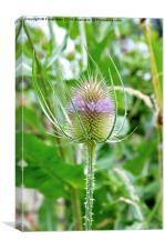 The  Common Purple Thistle plant, Canvas Print