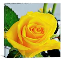 Beautiful Yellow Hybrid Tea rose in all its glory, Canvas Print