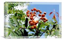 Orange Rowan (Mountain Ash) berries, Canvas Print