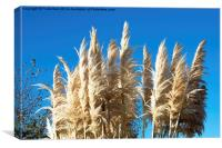 Beautiful, tall, willowy Pampas Grass, Canvas Print
