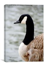 Canada Goose (Close up), Canvas Print