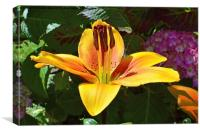 A beautiful yellow lily, Canvas Print