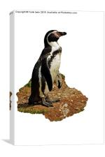 The Humboldt Penguin, Canvas Print