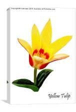 Beautiful Spring Tulip, Canvas Print