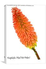 Red Hot Poker plant, Kniphofia., Canvas Print